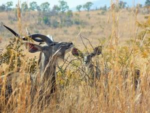 Pilanesberg - Grands Koudous