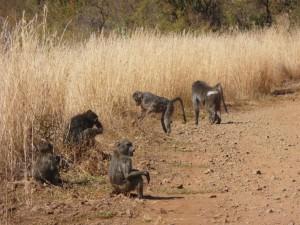 Pilanesberg - Babouins