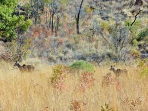 Pilanesberg - Cobes à croissant