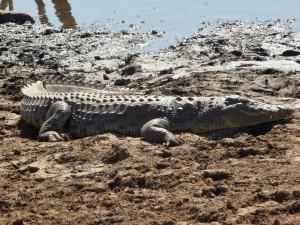 Pilanesberg - Crocodile