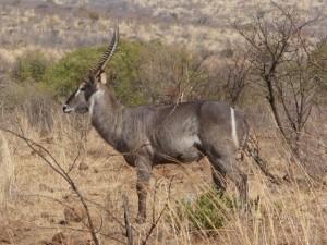 Pilanesberg - Cobe à croissant