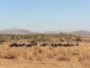 Pilanesberg - Gnous