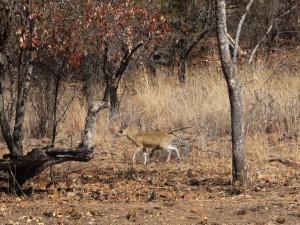 Pilanesberg - Steenbok
