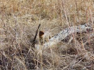 Pilanesberg - Mangouste rousse