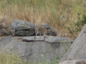 Serengeti - Serval