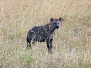 Serengeti - Hyène