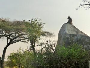 Serengeti - Babouin