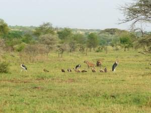 Serengeti  - Après la chasse
