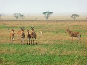 Serengeti - Bubales
