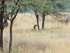 Serengeti - Guépards