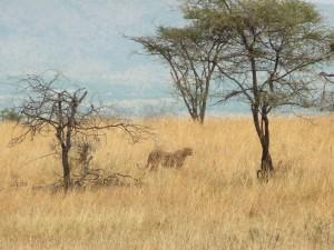 Serengeti - Guépard
