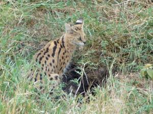 Serengeti - Nid de Serval