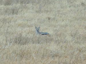 Ngorongoro - Chacals