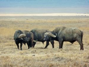Ngorongoro - Buffles
