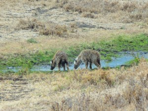 Ngorongoro - Hyènes