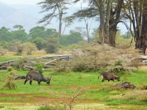 Ngorongoro - Cobes à croissants