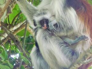 Zanzibar - Colobes roux