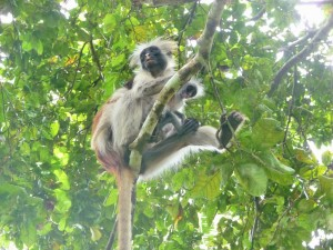 Zanzibar - Colobe roux