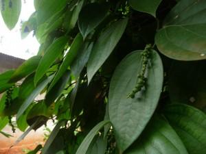 Zanzibar - Le poivre