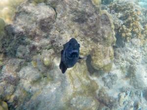 Plage de l'Hermitage - poisson à l'attaque!