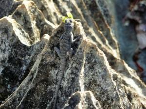 Tsingy - Lézard
