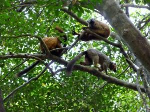Tsingy - Lémurs fauve