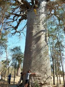 Baobab sacré