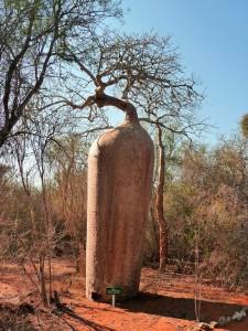 Baobab carotte