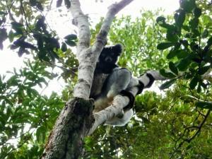 Andasibe - Indri indri