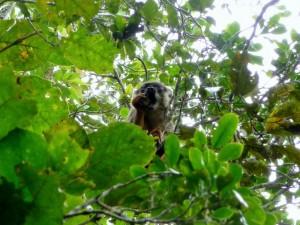 Andasibe - Lémur fauve