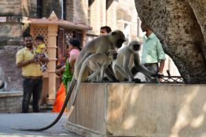 Ranakpur - Langurs