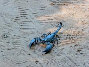 Ta Phrom - Scorpion énooorme