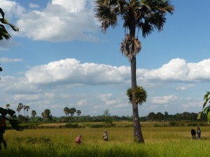 Angkor - Rizieres