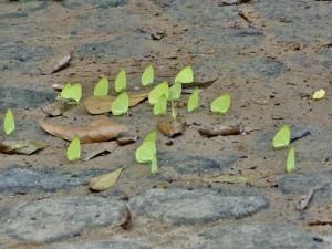 Kbal Spean - Papillons