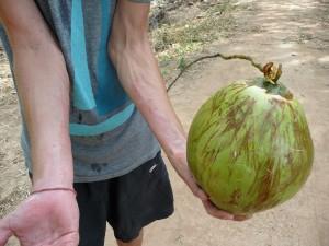 Koh Trong - Récolte de noix de coco