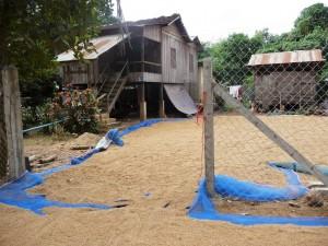 Battambang - Séchage du riz