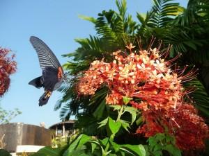 Koh Kood - Papillon géant