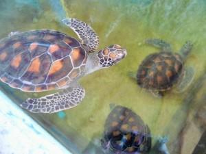 Koh Tao - Sauvegarde des tortues marines
