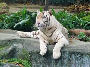 Zoo - Tigre blanc