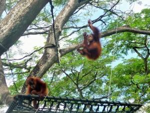 Zoo - Orang Outans