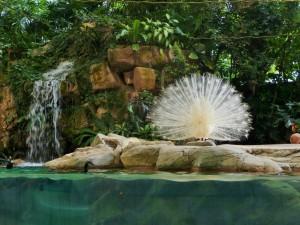 Zoo - Paon blanc