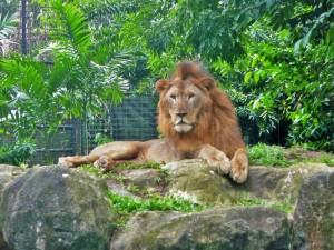 Le (vieux) roi du zoo