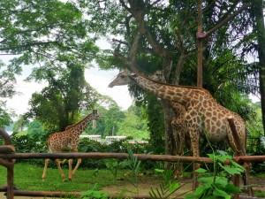 Zoo - Girafes