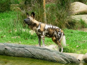 Zoo - Lycaon