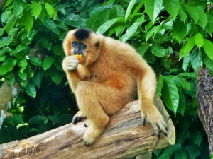 Zoo - Gibon femelle