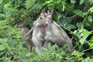 Uluwatu - Macaques chapardeurs