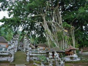 Ficus gigantesque