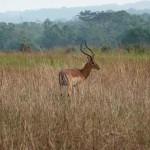 Impala - Parc de la Lékédi