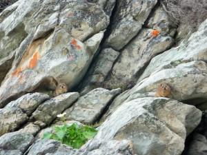 Tsitsikamma Park - Damans des rochers