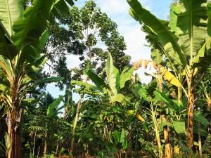 Arusha - Plantation de bananiers